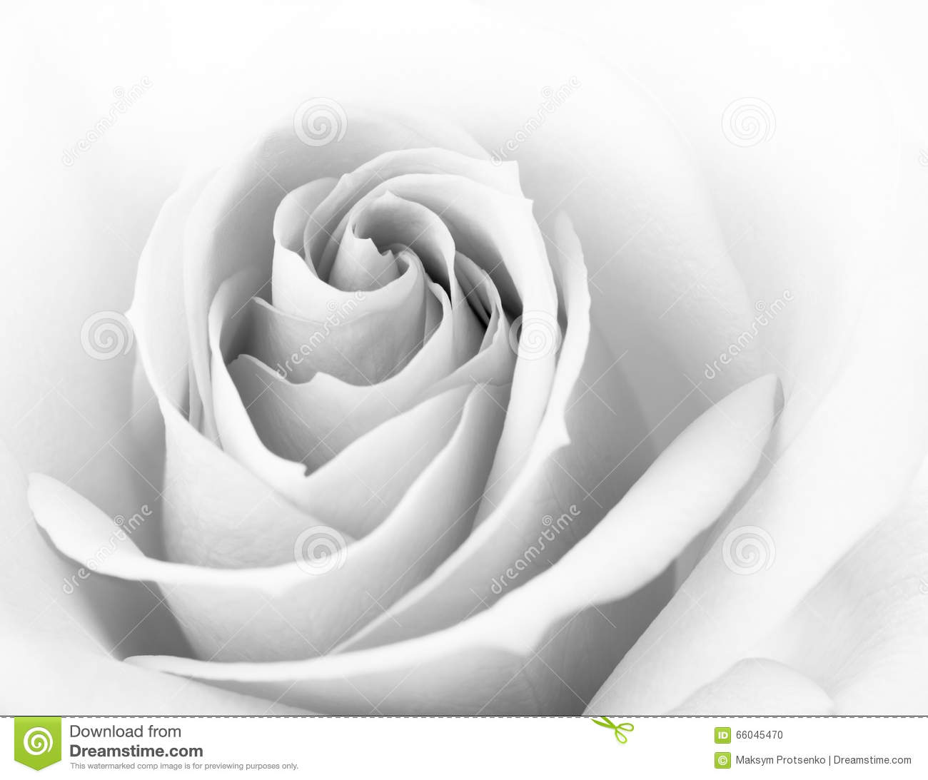 Black And White Pink Rose