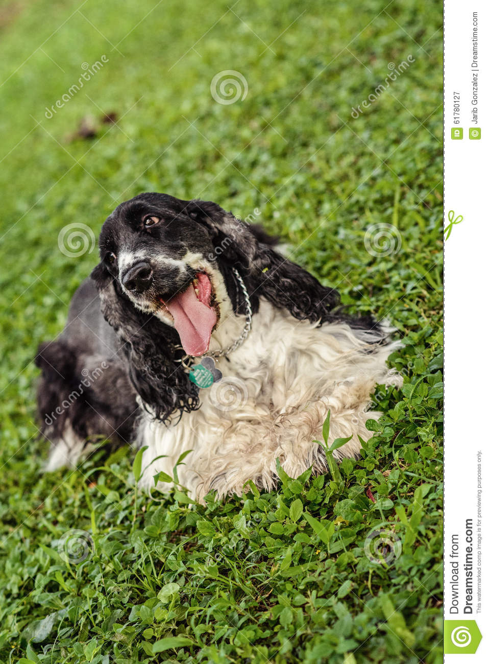 Black And White Cocker Spaniel Stock Photo - Image: 61780127