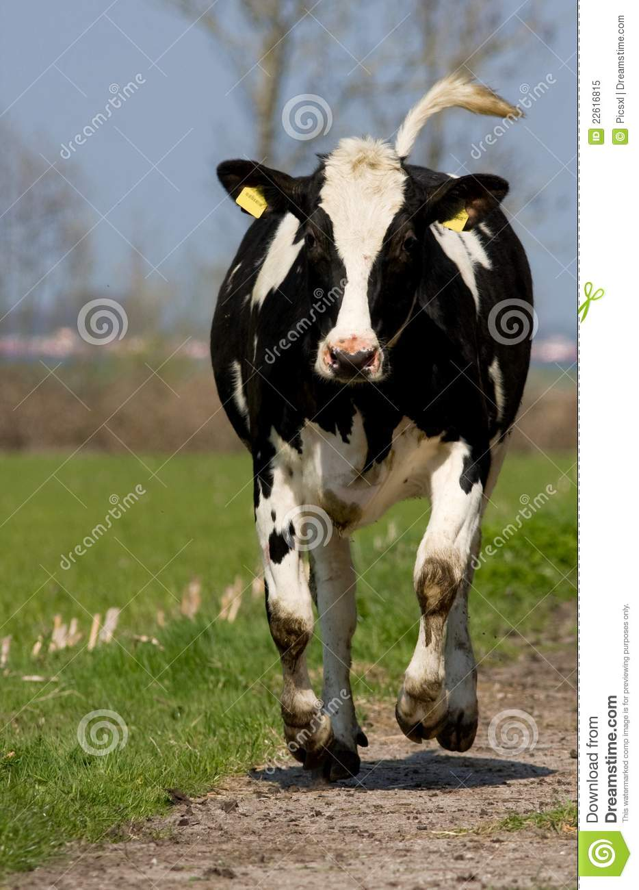 Black And White Cow Royalty Free Stock Photo