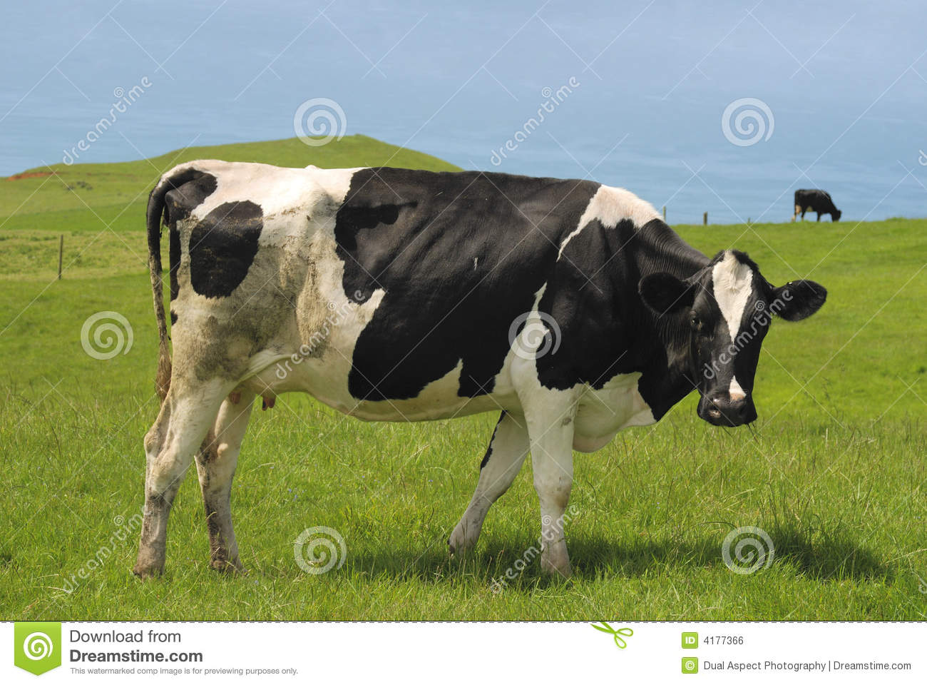 black and white cow stock photo image of farming dairy 4177366