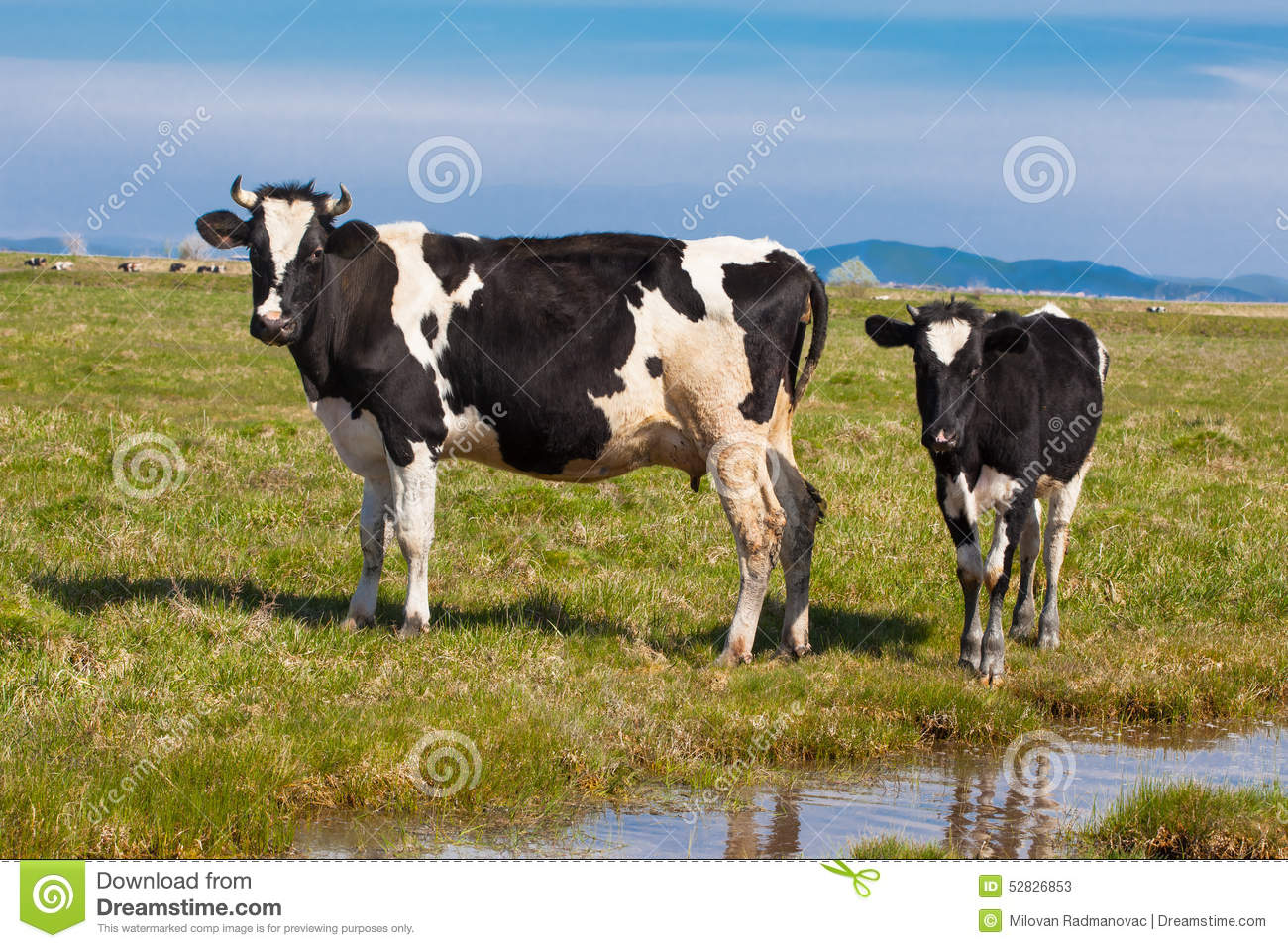 black and white cow and calf stock photo image 52826853