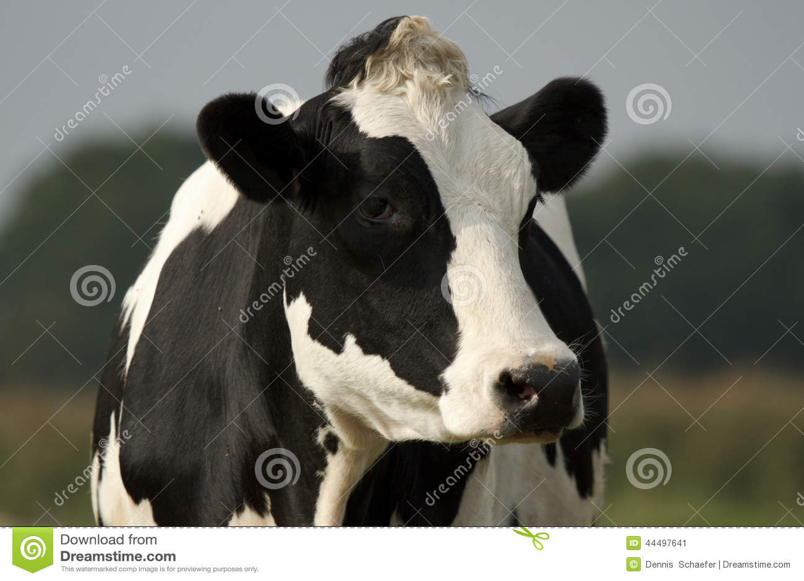 black and white cow closeup stock photo