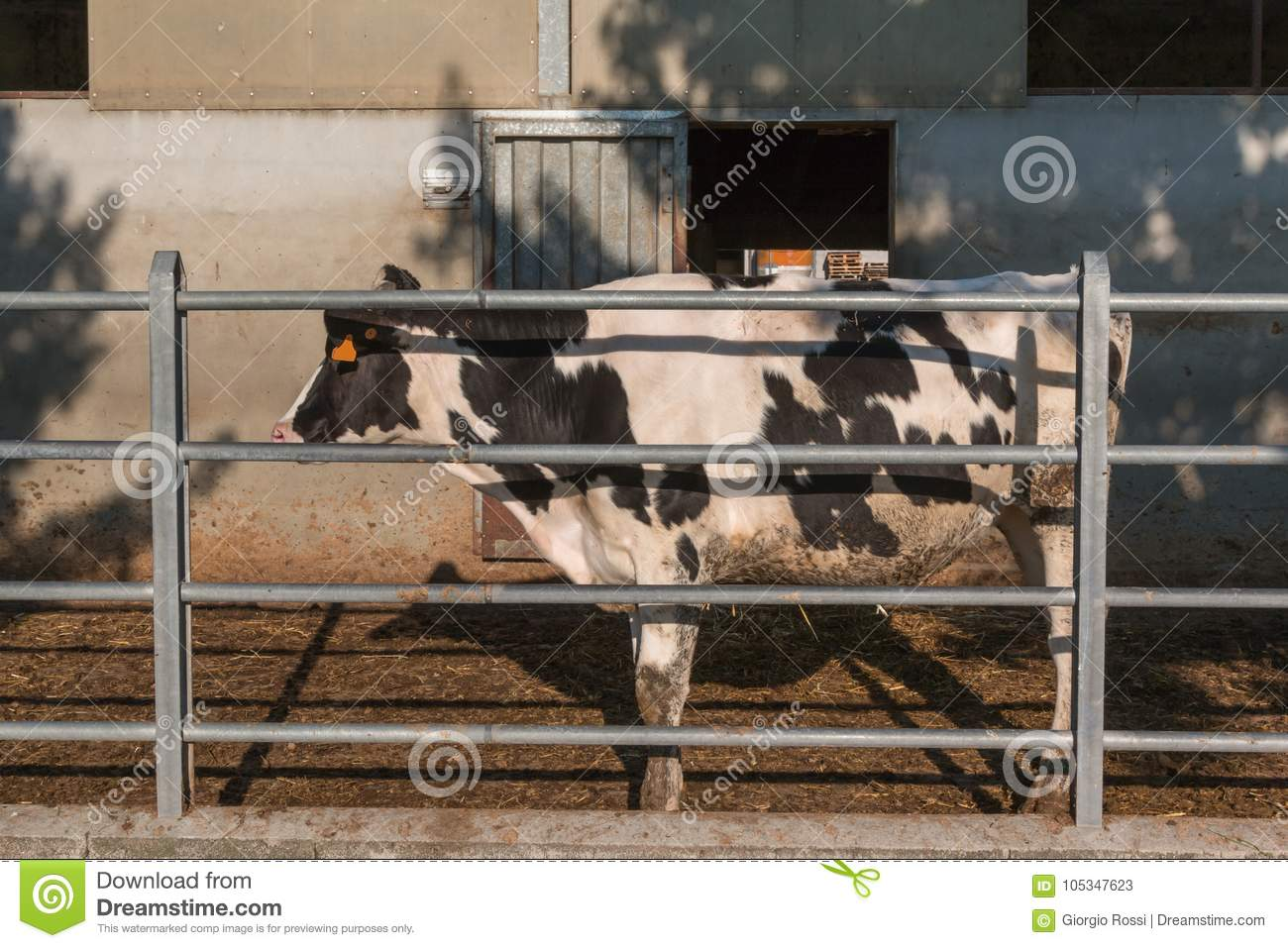 Download Black And White Cow Pasturing Outside Of The Barn Stock Image
