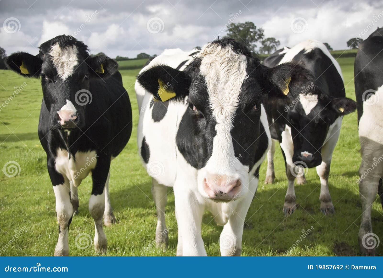 Black-and-white cows: description and characteristics 63