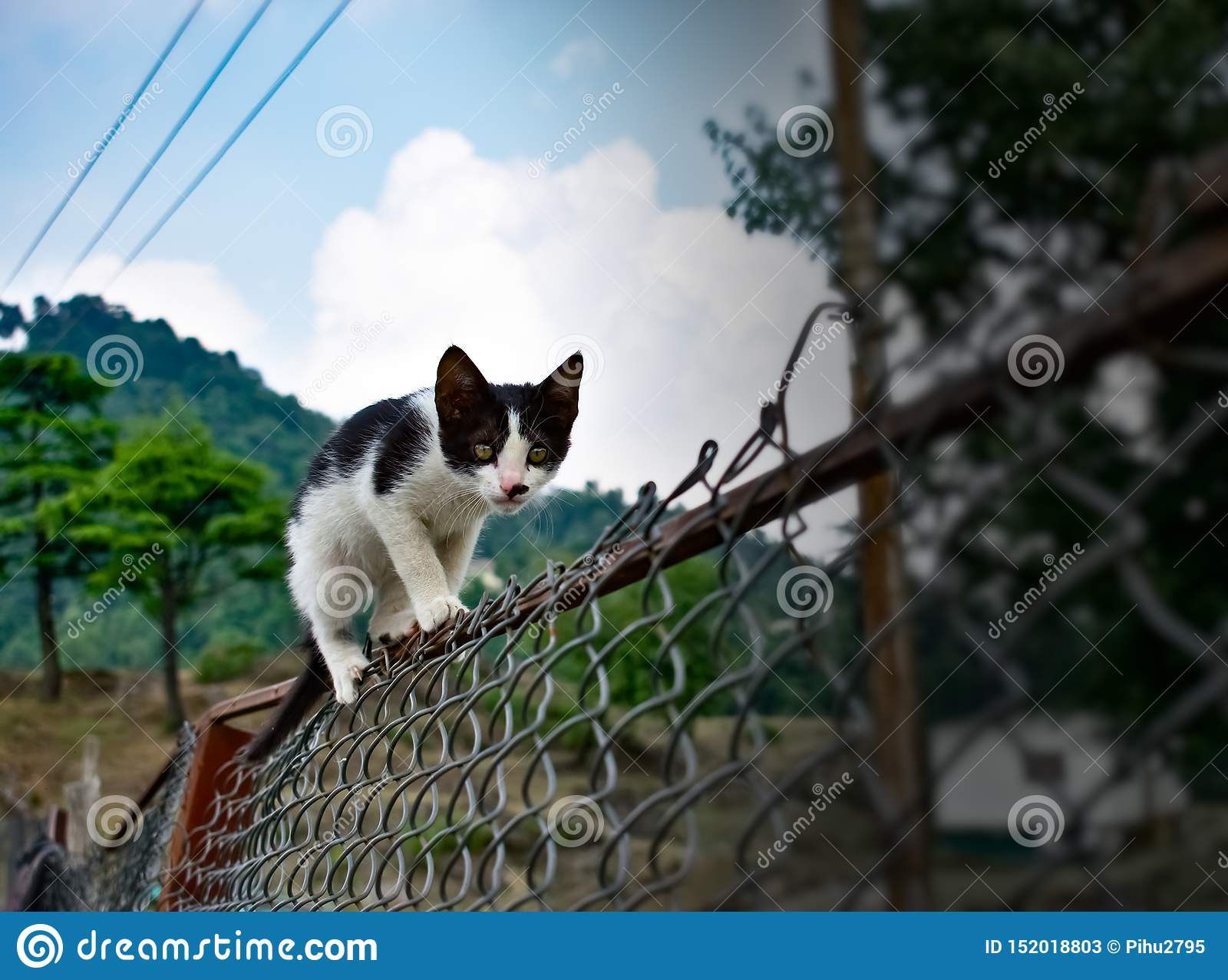 Black and white cute cat walking on the fence in the garden in mountains very funny cat