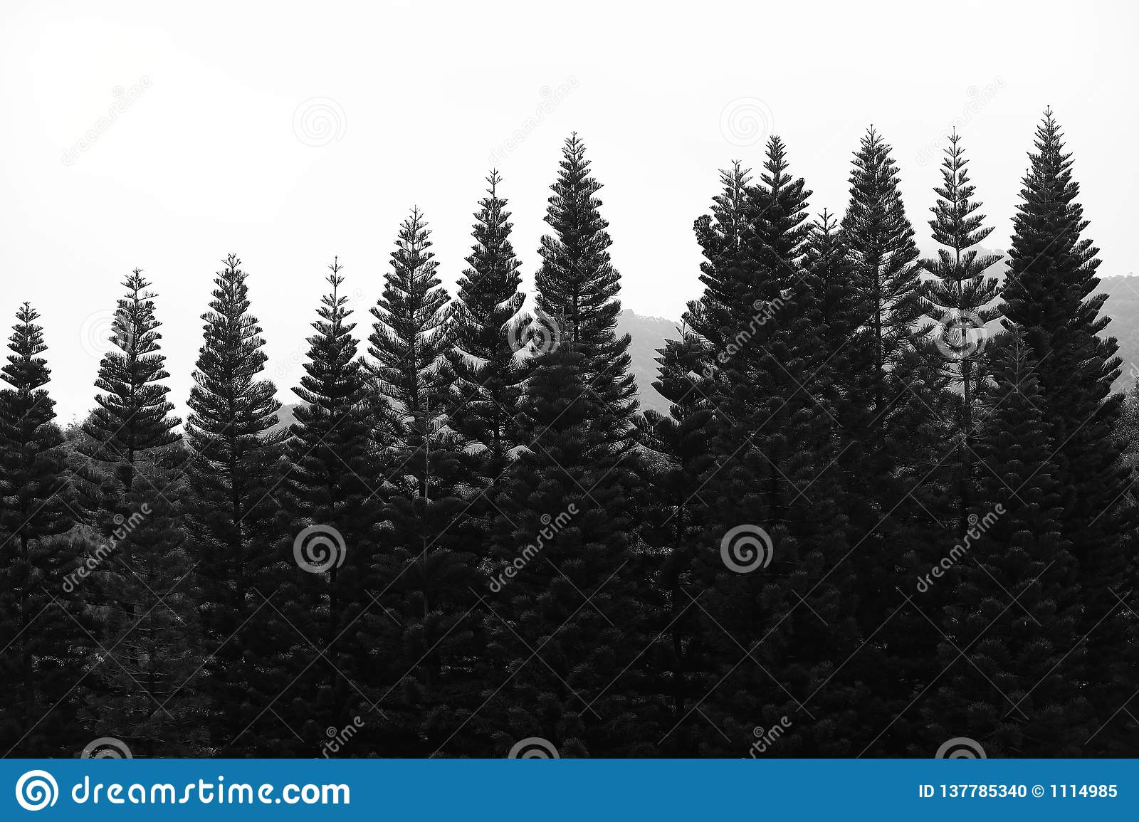 Black and white cypress tree in shenzhen, china
