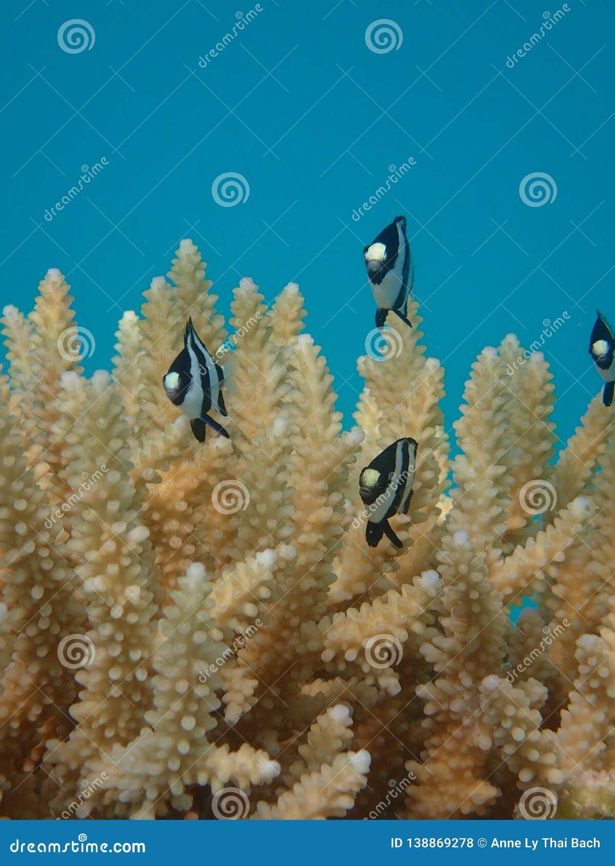 Damselfish and acropora branching coral lagoon of bora fakarava french polynesia