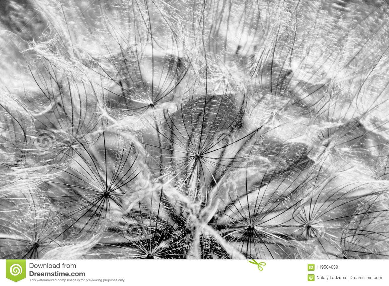 Beautiful black and white dandelion in the sunlight