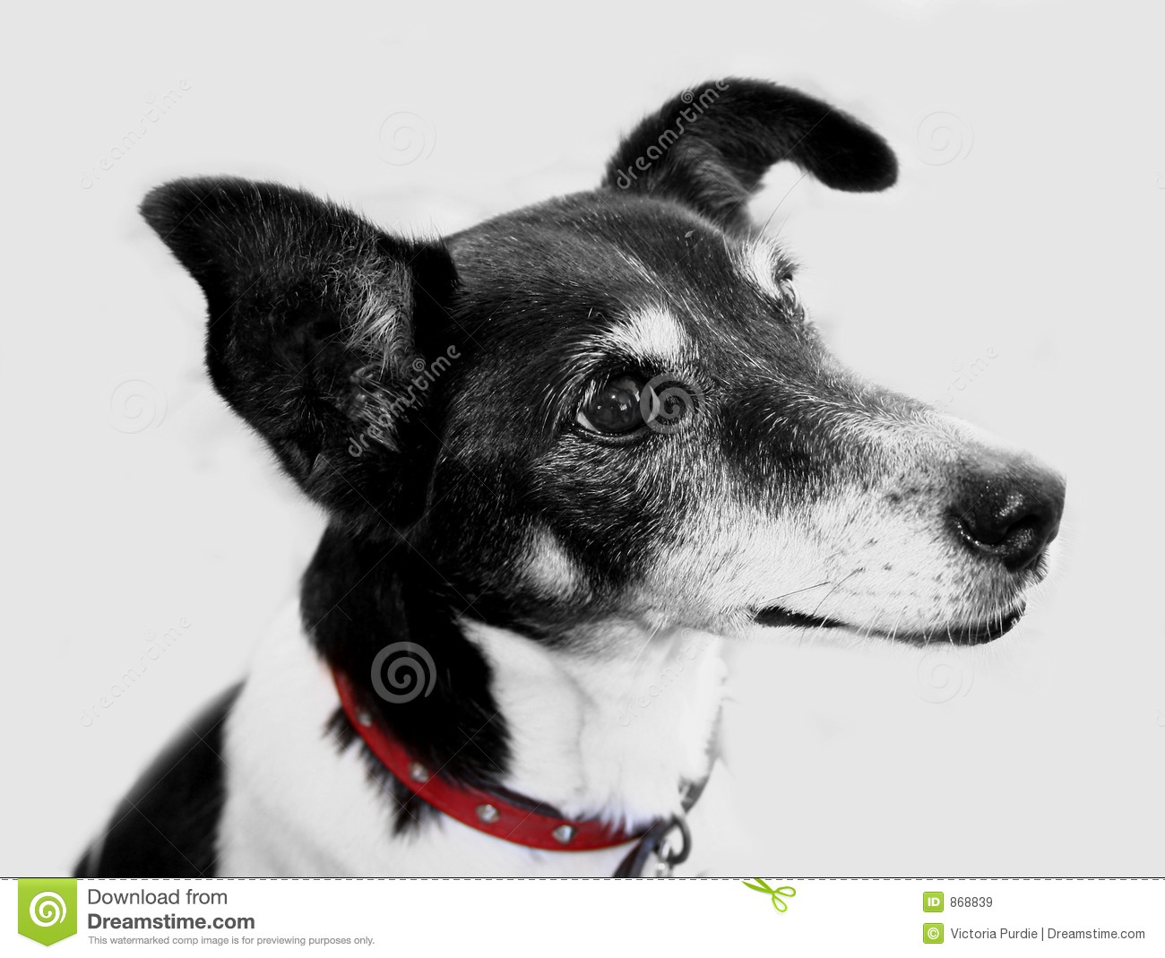 Black and White Dog stock image. Image of breed, black ...