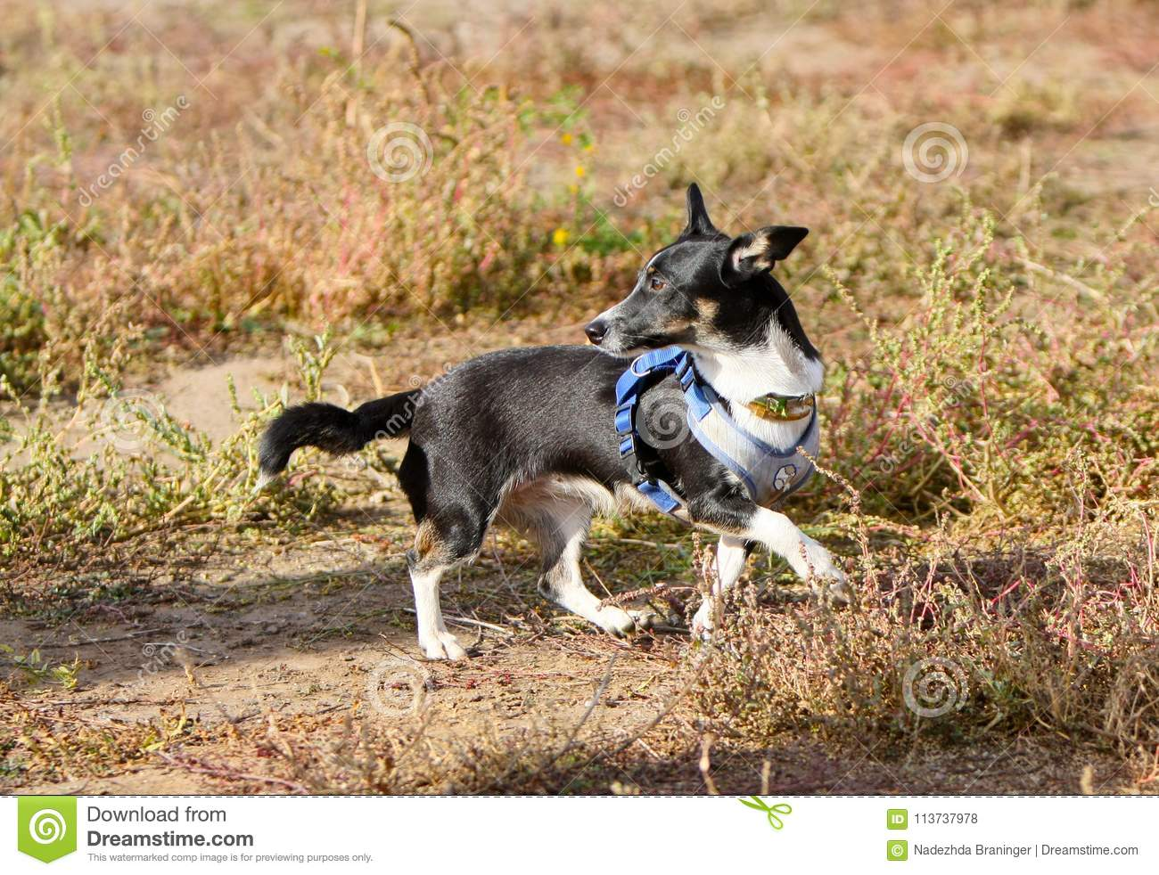 Black And White Dog Walks On Dry Grass  A Cute Puppy Runs Down The