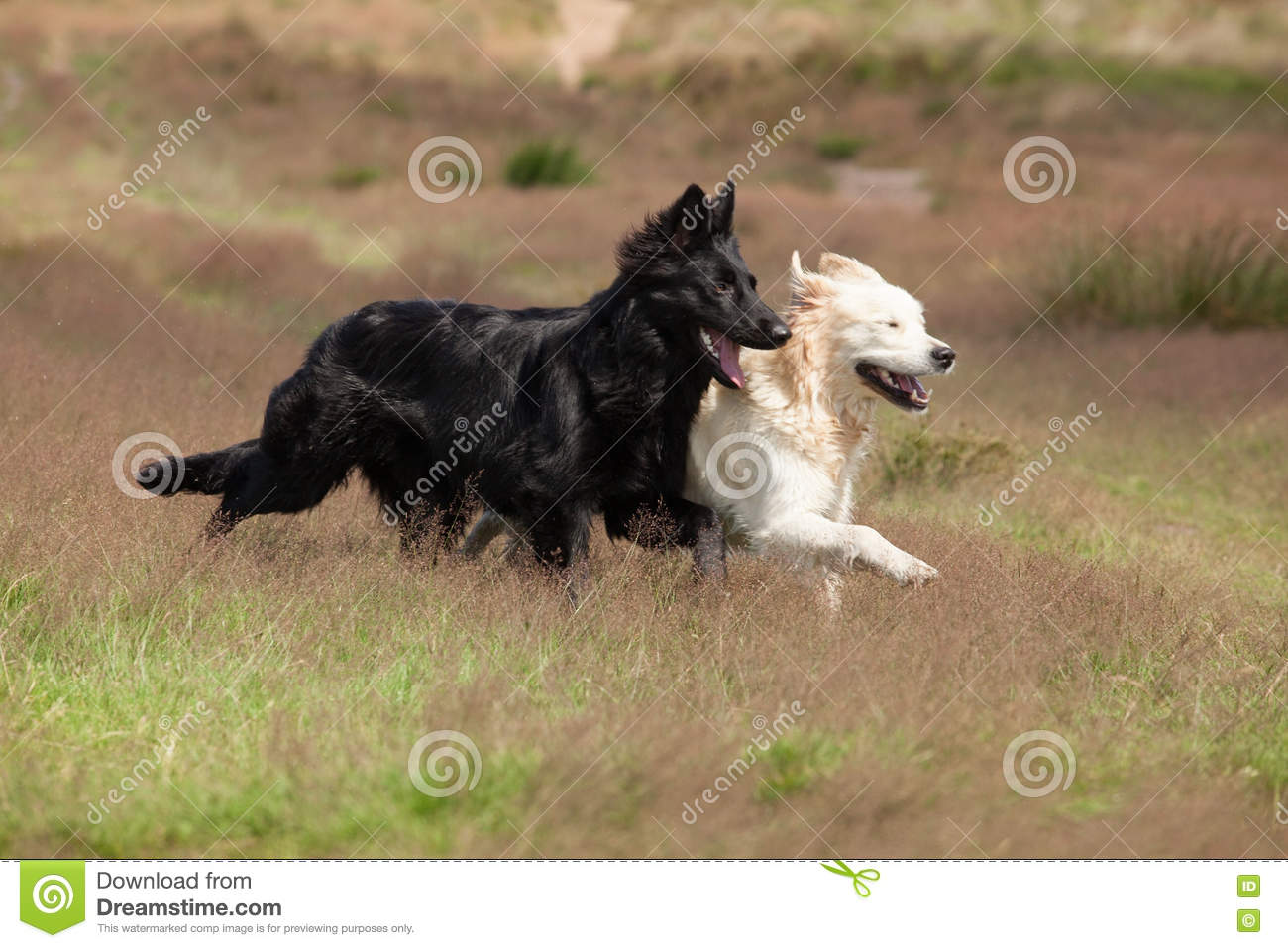 Black And White Dogs Running Together Stock Photo Image Of Flair