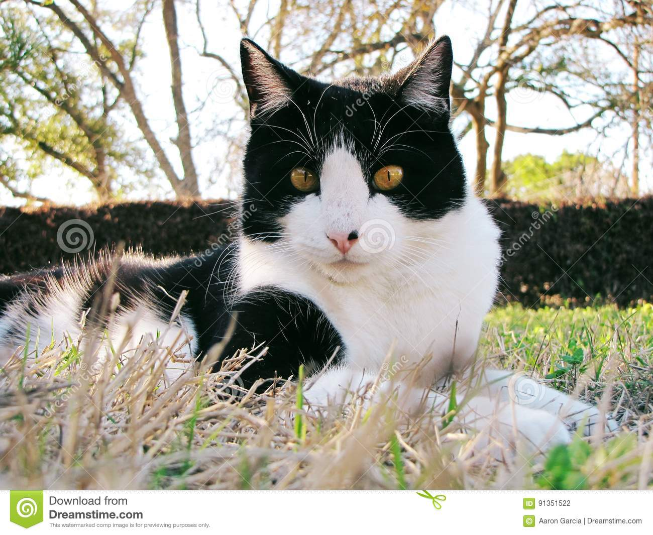 Black And White Domestic Shorthair Cat Stock Photo Image Of Young White 91351522