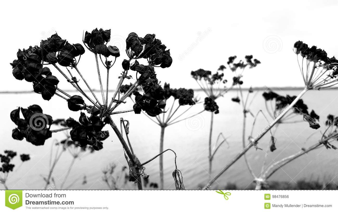 Black and white dying weeds on norfolk broads
