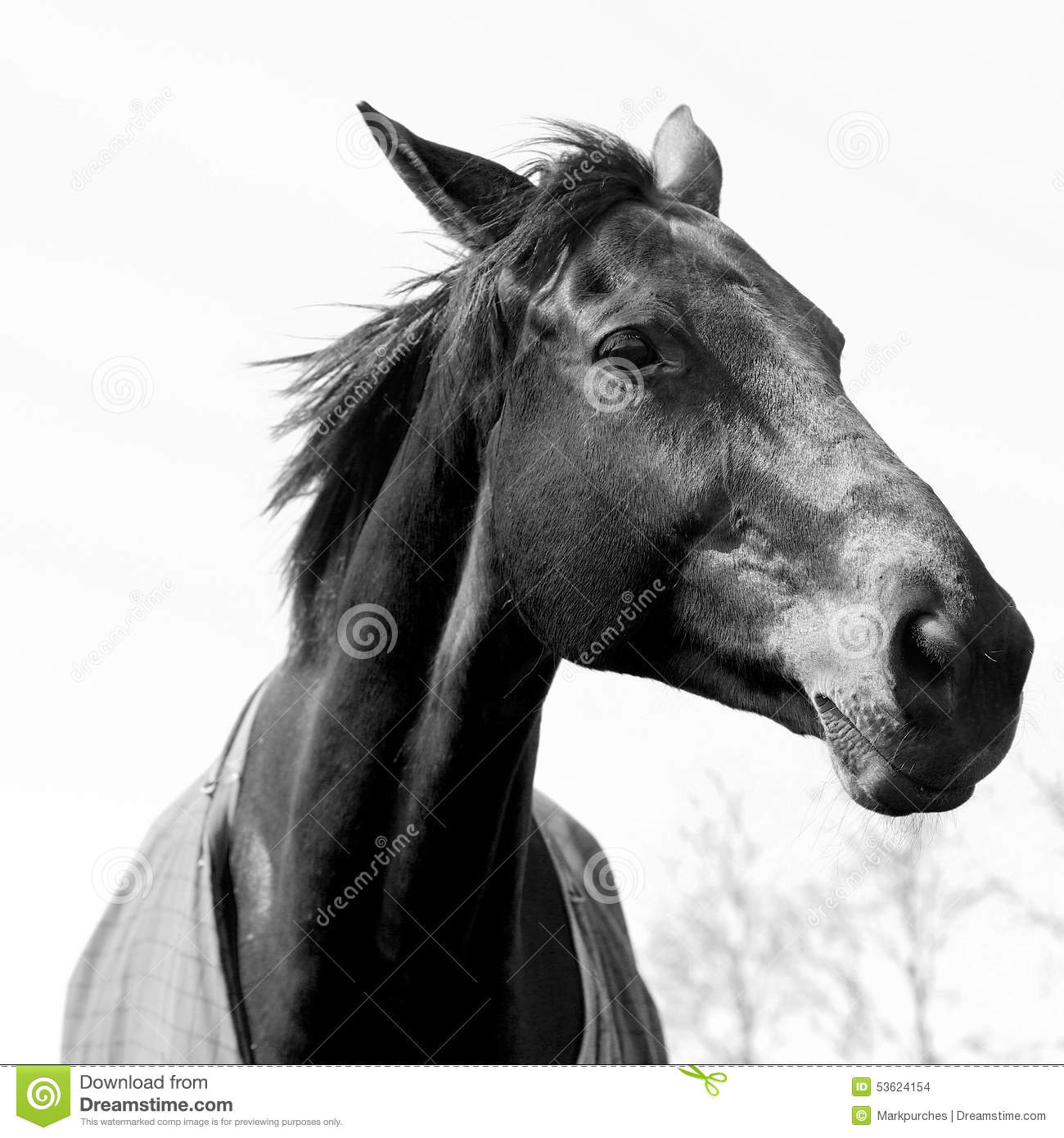 Beautiful black and white chestnut or light bay horse portrait showing head and neck and part of body the elegant horse is wearing a purple horse coat