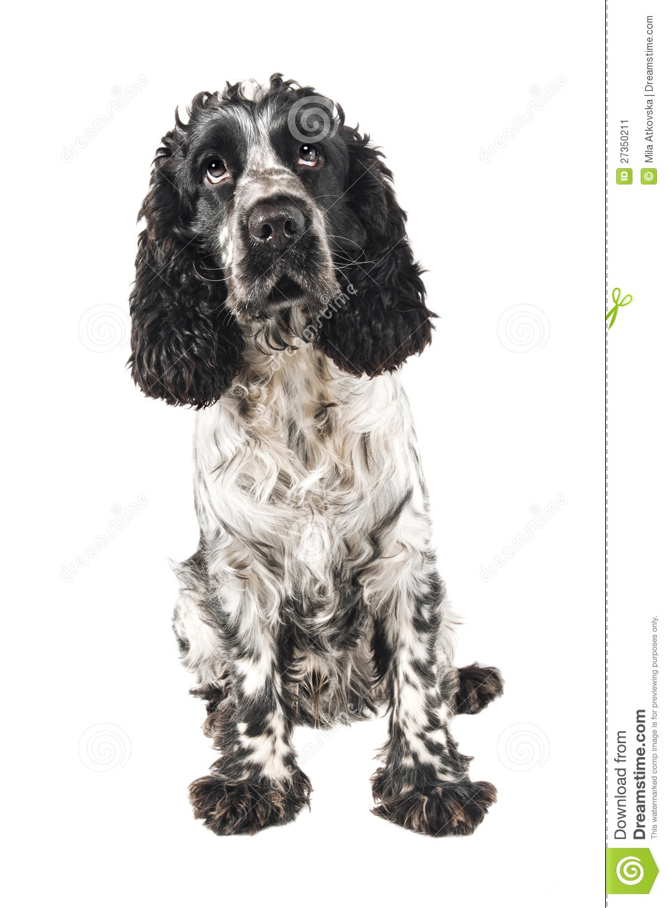 Black And White English Cocker Spaniel Looking Up Stock Image  Image: 27350211 - Eiffel Tower Floor Plan