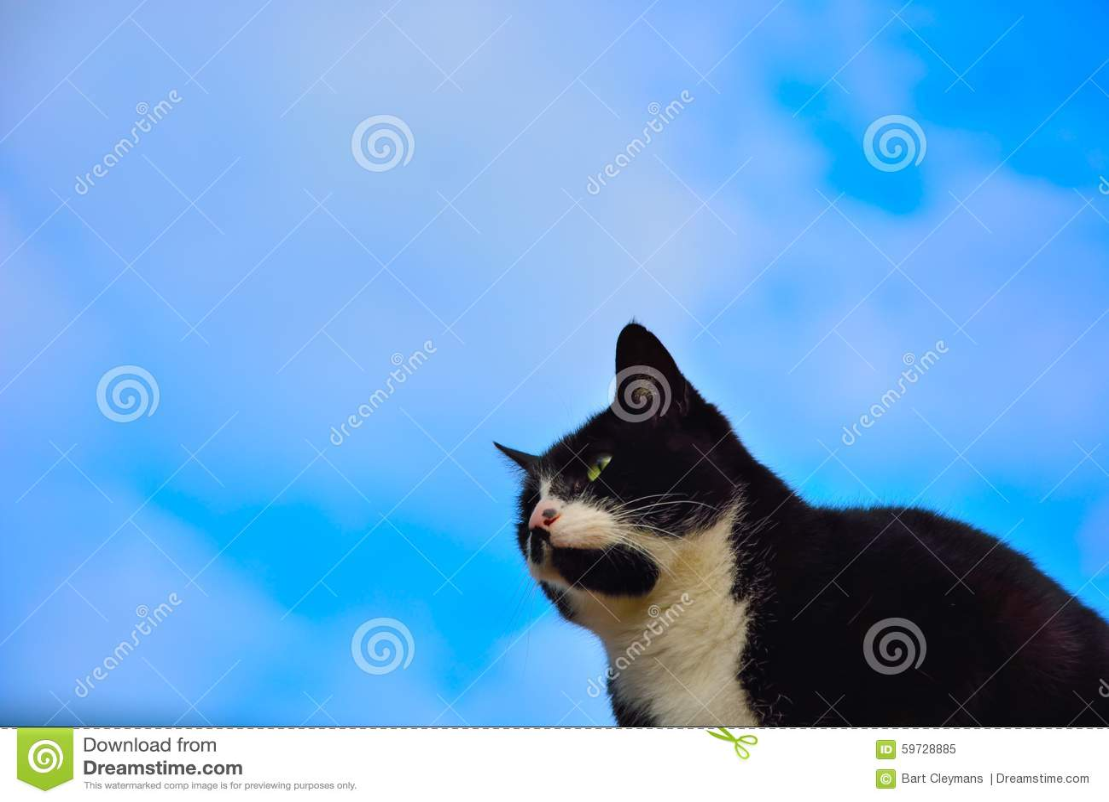 Black and white European house cat