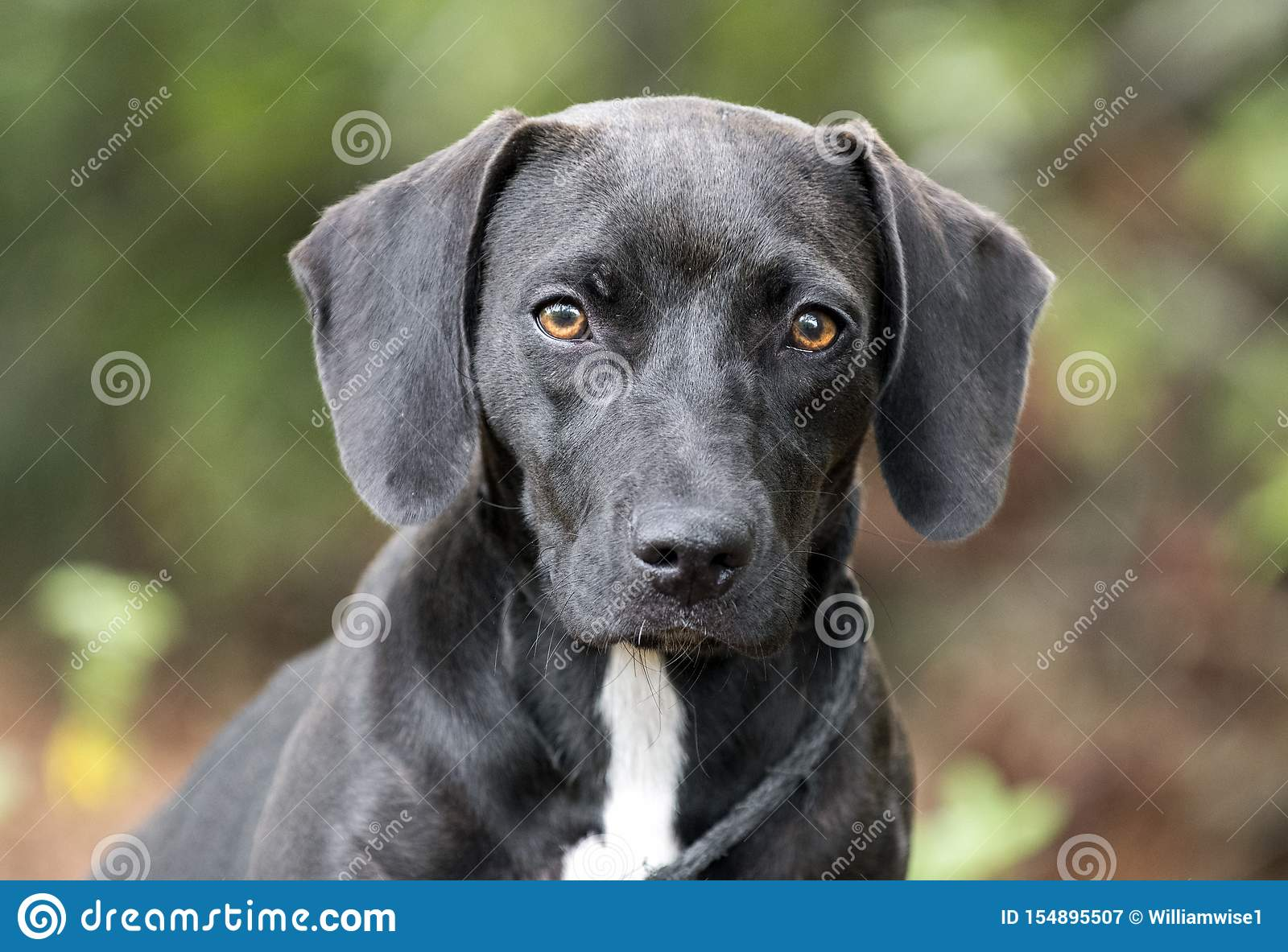 Beagle Dachshund Puppy Dog With Floppy Ears Stock Image Image Of Humane Floppy 154895507