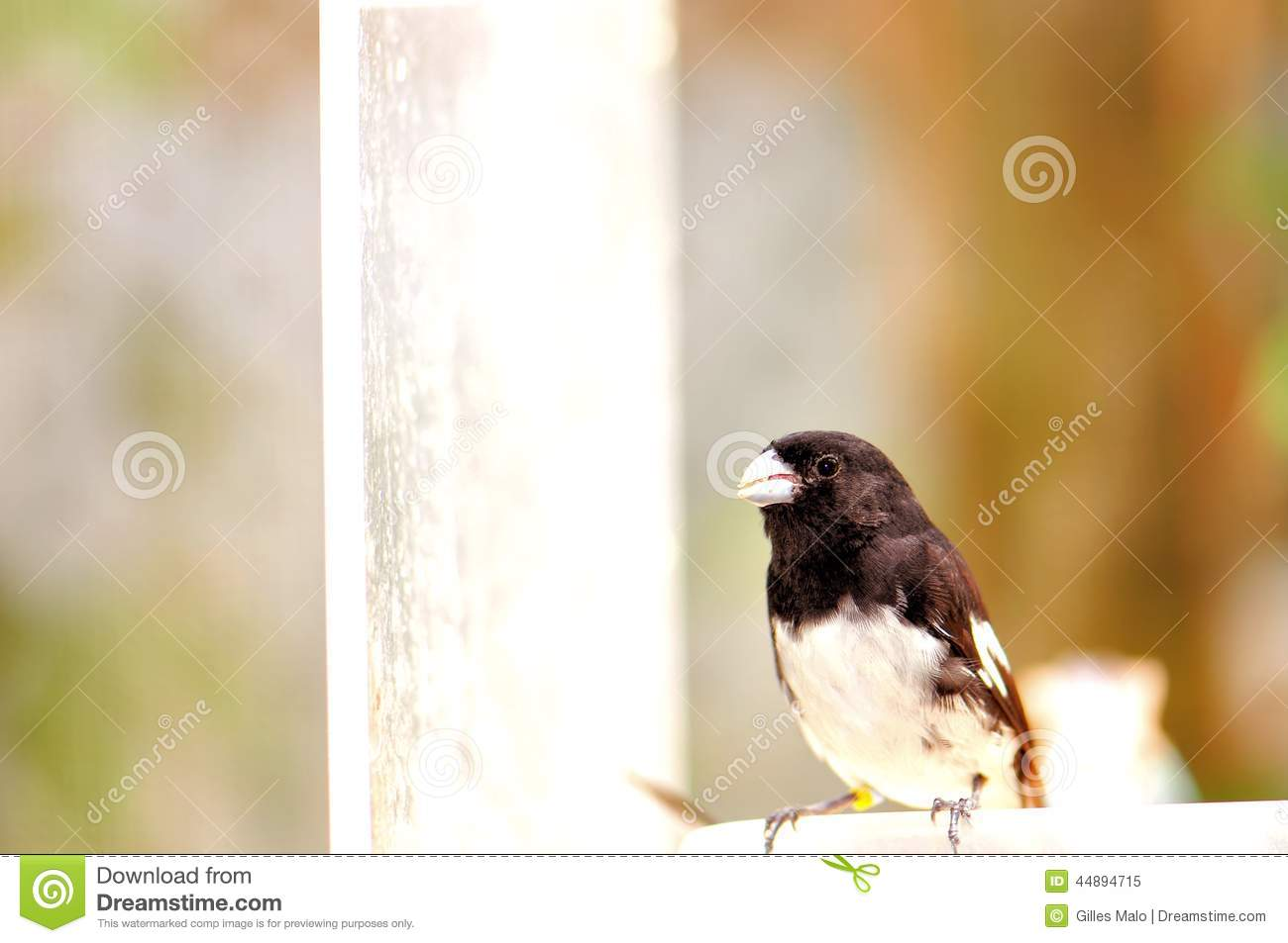 Black And White Finch Bird On Food Bowl, Florida Aviary Stock Image ...