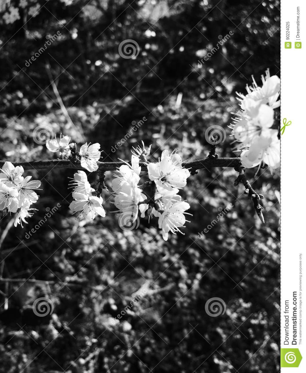 Black And White Flowers Editorial Image Image Of Blossom 90224025
