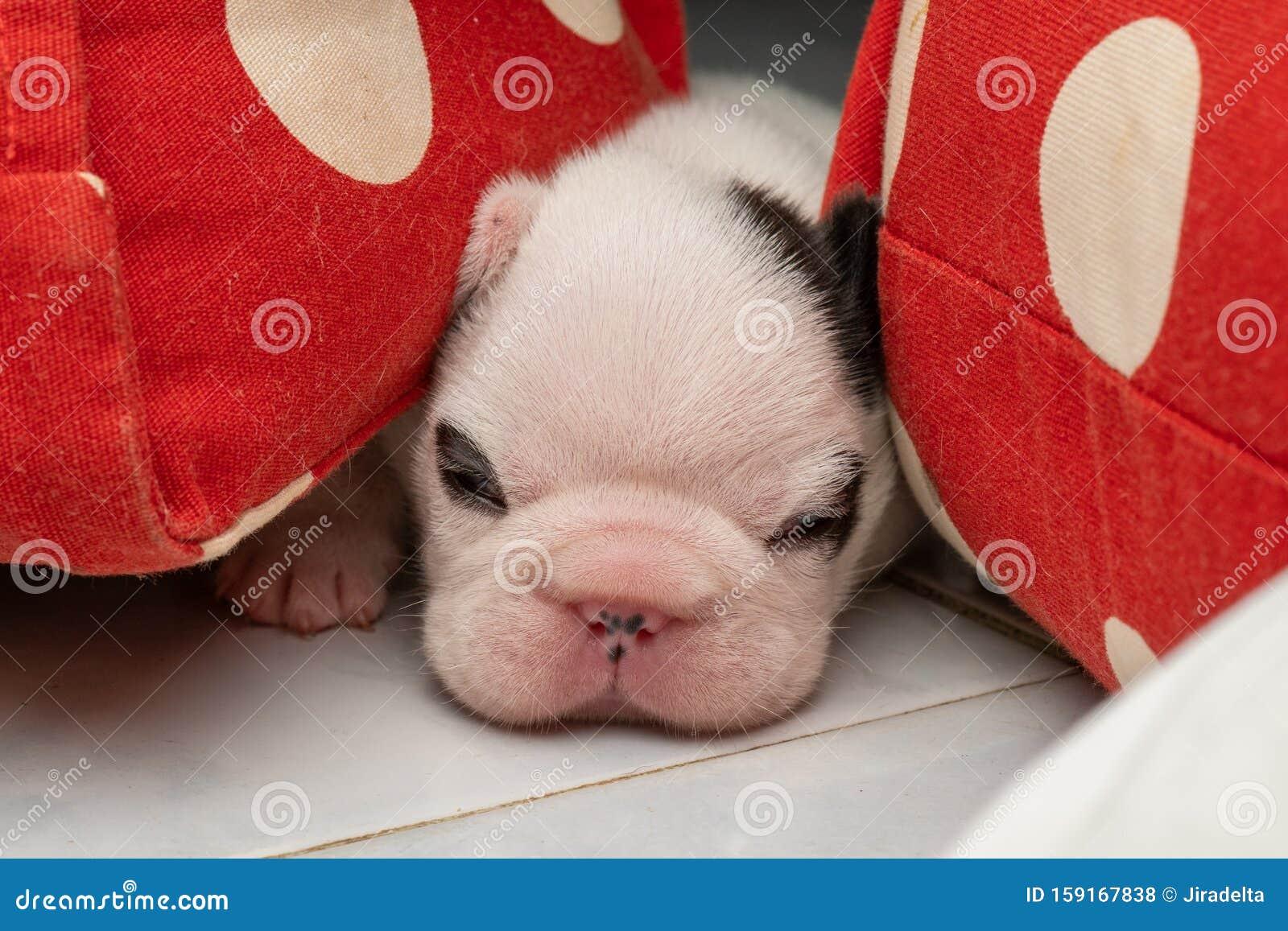 Black And White French Bulldog Puppy Sleeping On The Floor Stock Photo Image Of Animal Black 159167838