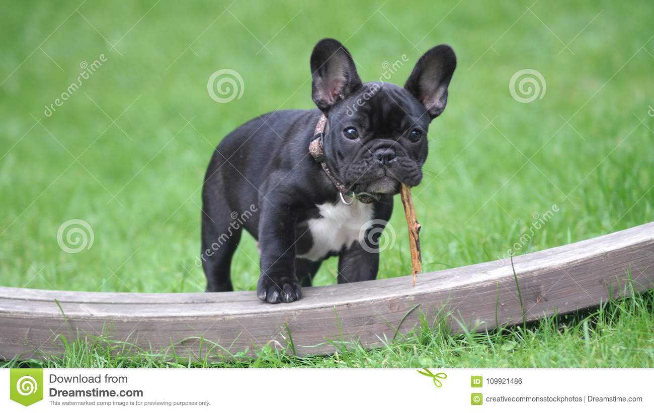Black And White French Bulldog Puppy Stepping On Brown Wood Board Panel Close Up Photography Picture Image 109921486