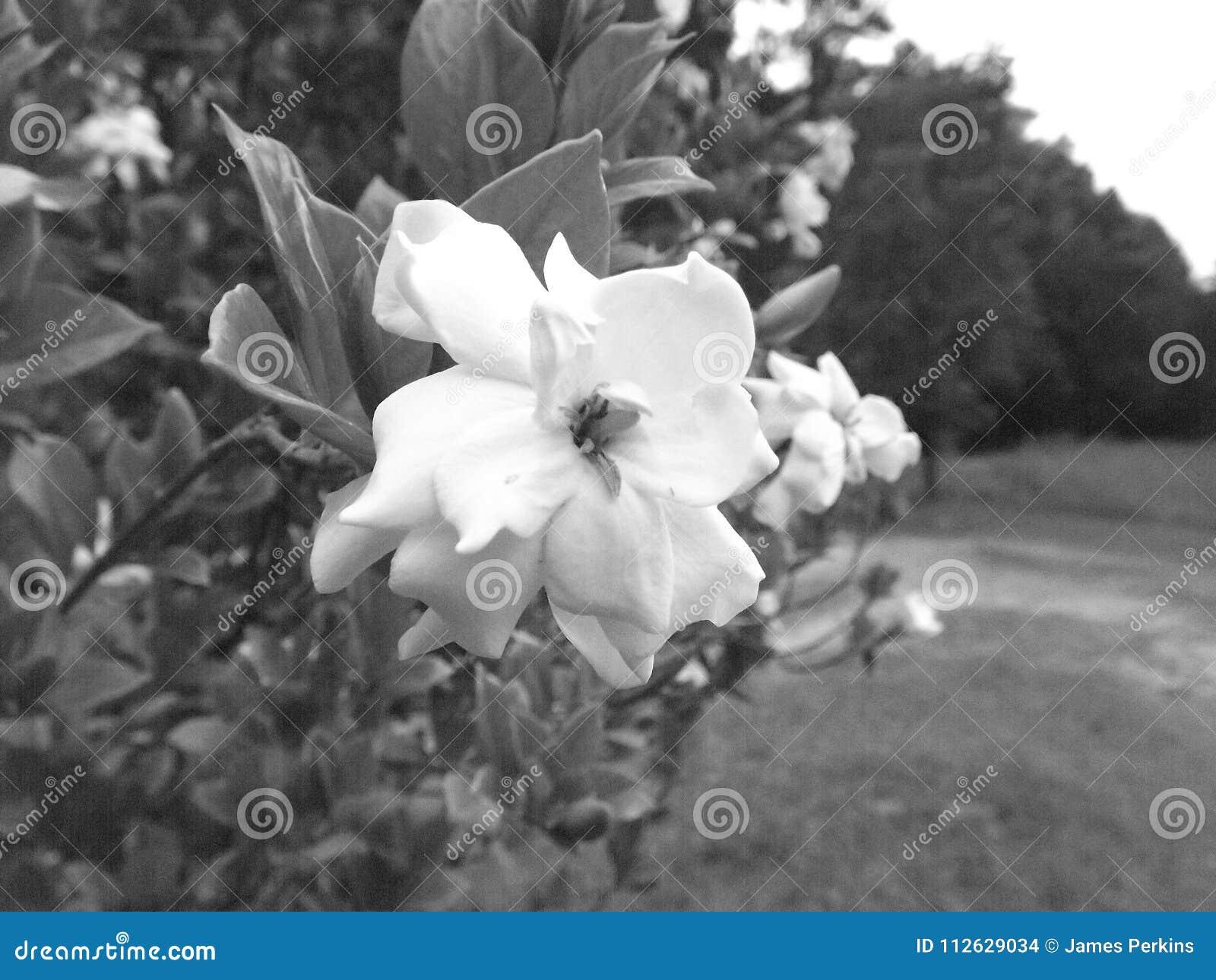 Black and White Gardenia flower