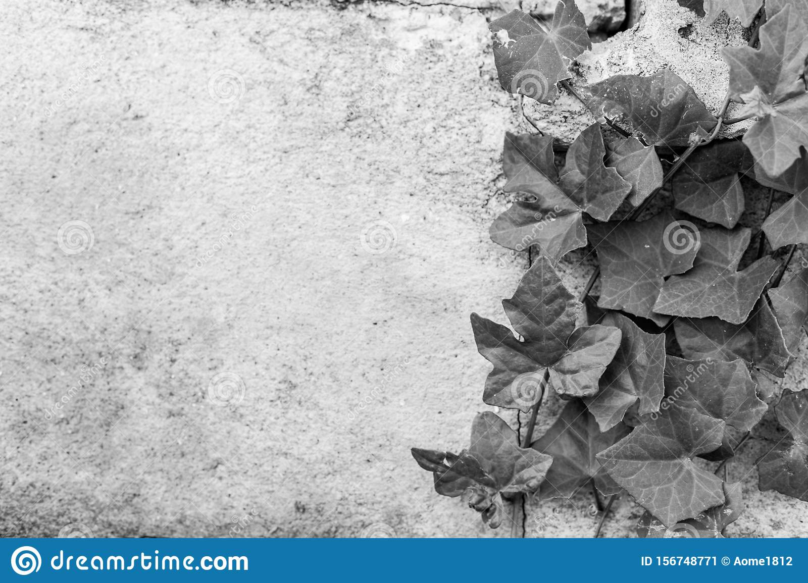 Black and white of Green ivy on old building