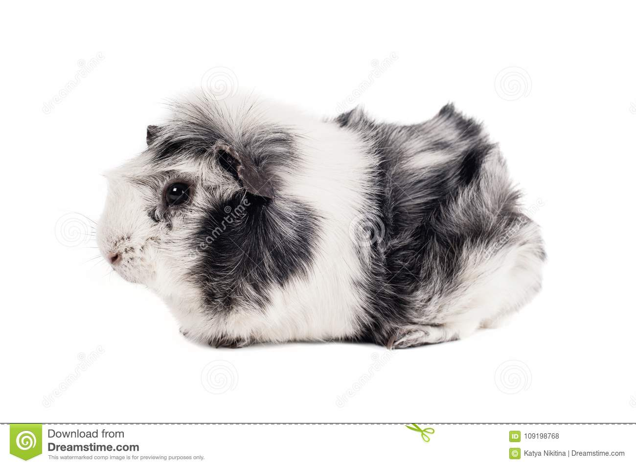 Black and white guinea pig of abyssinian breed rare color magpie royalty free stock photo jeuxipadfo Gallery
