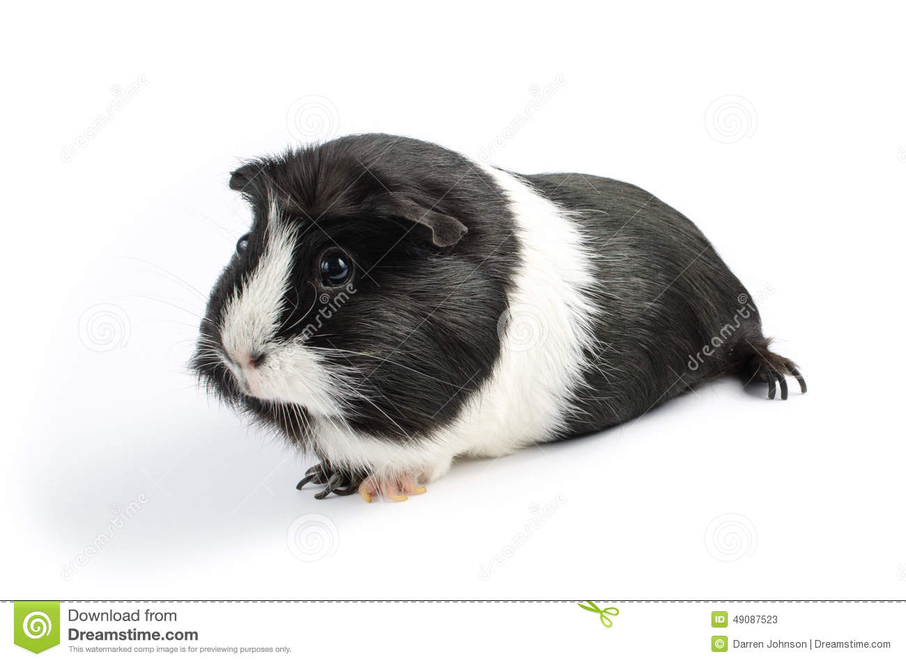 Black And White Guinea Pig Sideon Stock Photo - Image: 49087523