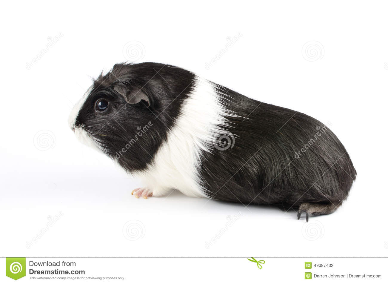 Black and white guinea pig sideon stock photo image of cute black and white guinea pig sideon jeuxipadfo Gallery