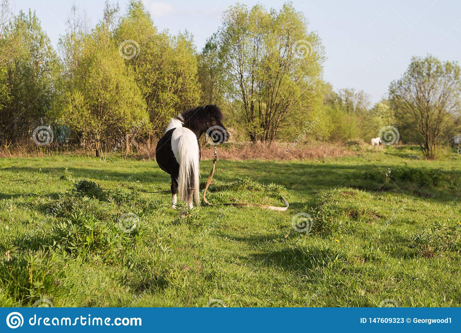 Black and white horse breed pony. Horses graze in the meadow. The horse is eating grass.