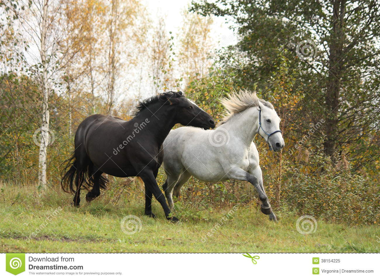 black and white horse galloping royalty free stock photo. Black Bedroom Furniture Sets. Home Design Ideas