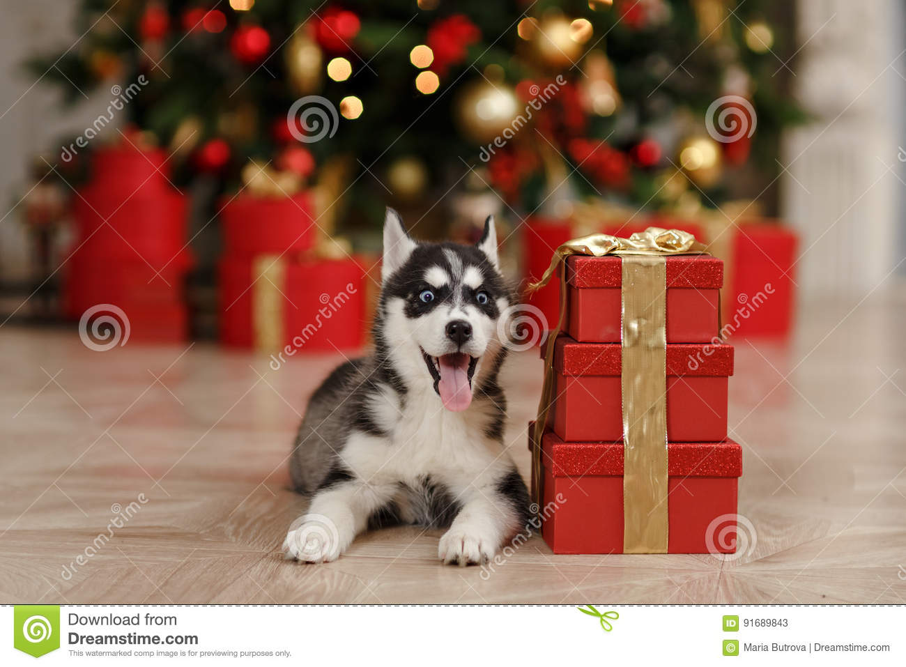 Husky Christmas Puppy.Black And White Husky Puppy In A Christmas Tree Is In Stock