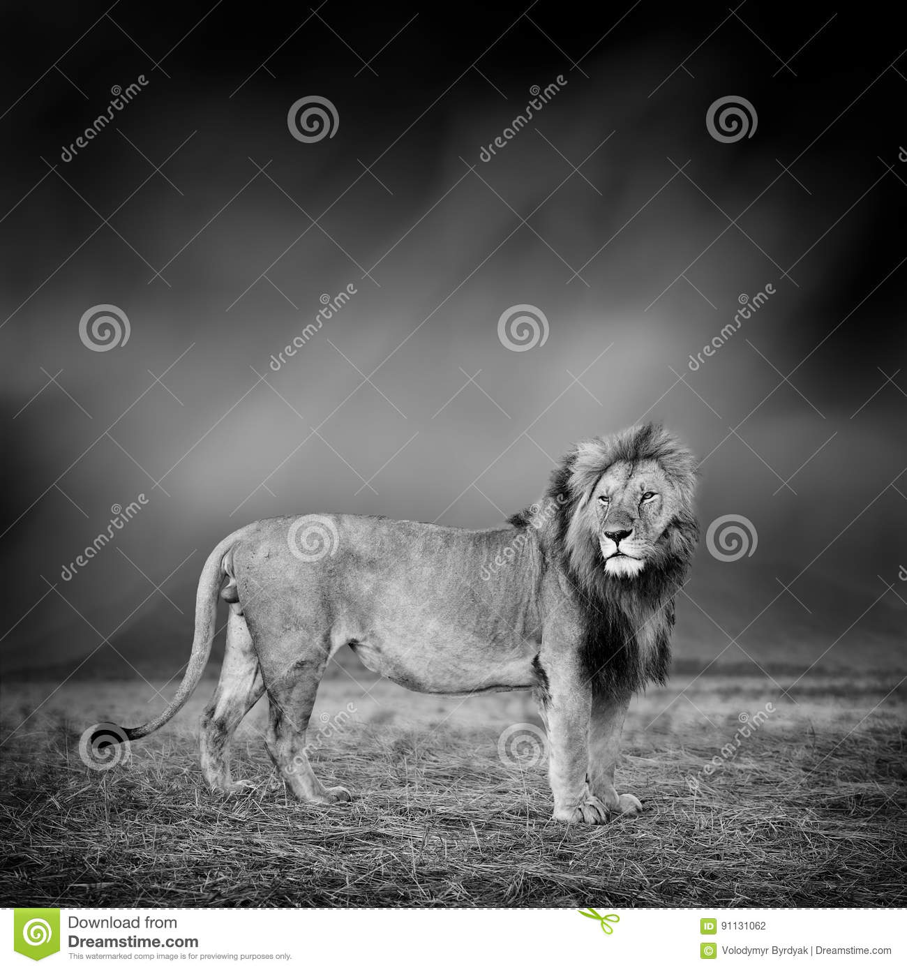 Black and white image of a lion