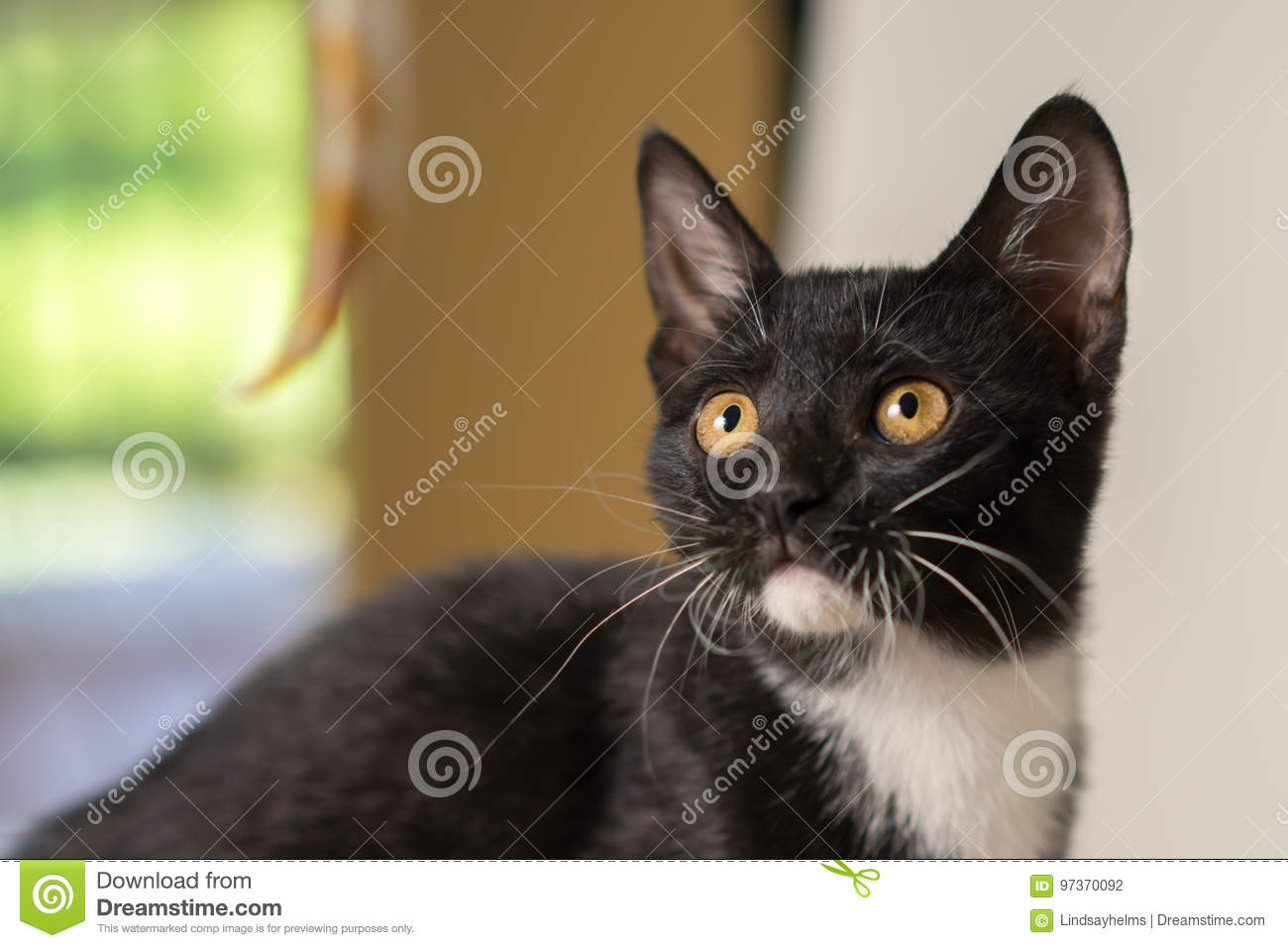 Black And White Kitten Close Up Stock Photo Image Of White Home