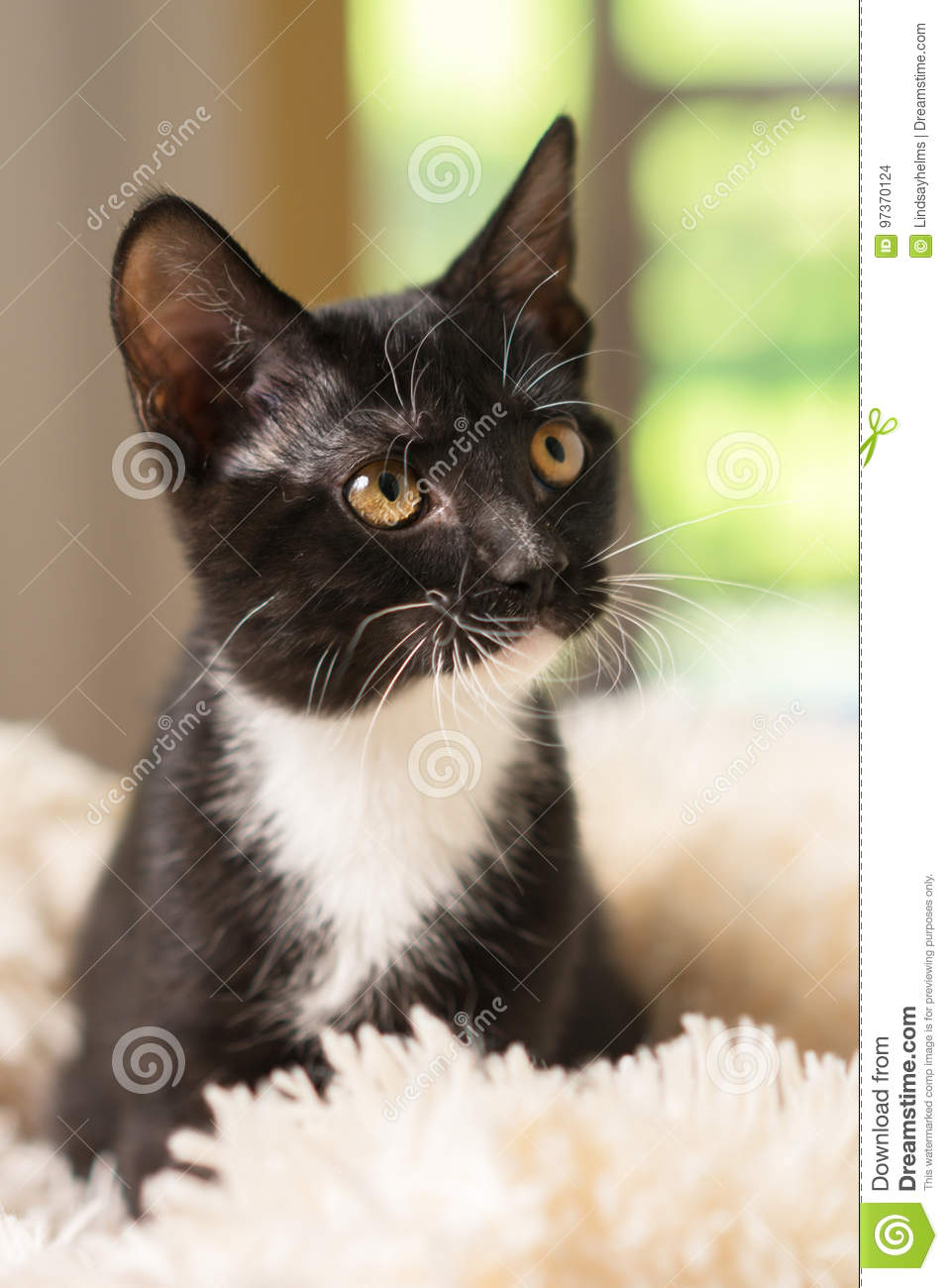 Black And White Kitten Close Up Stock Photo Image Of Watching