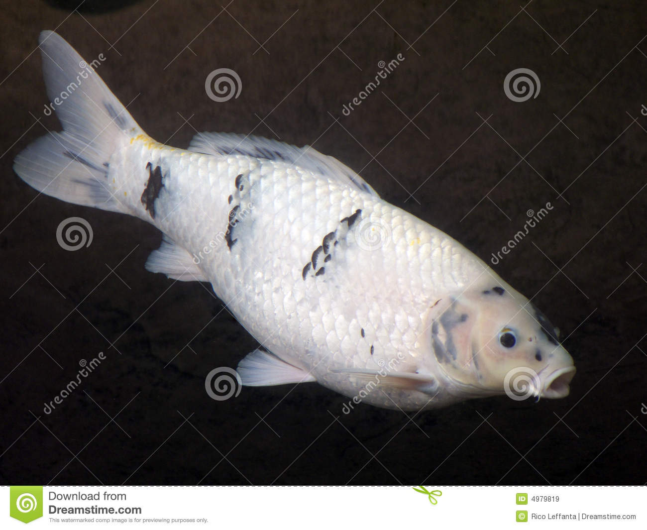 Black white koi royalty free stock images image 4979819 for Black white koi