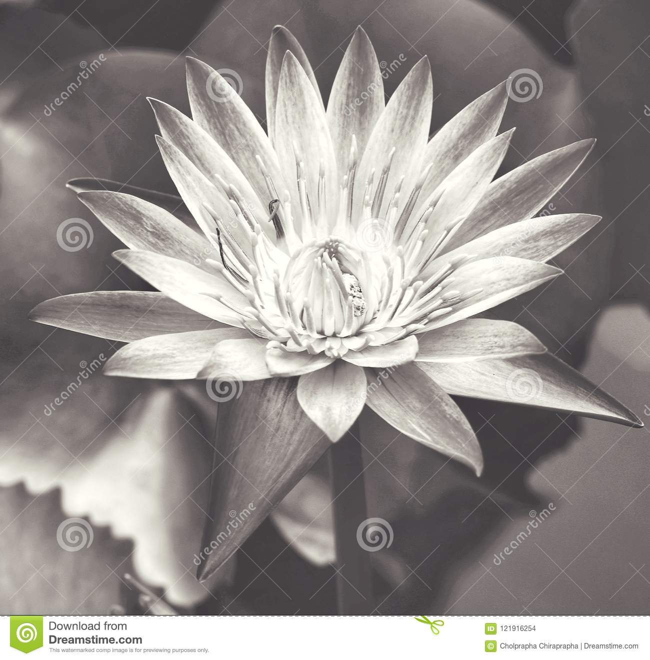 Black and white lotus flower stock photo image of theme imagine black and white lotus flower mightylinksfo