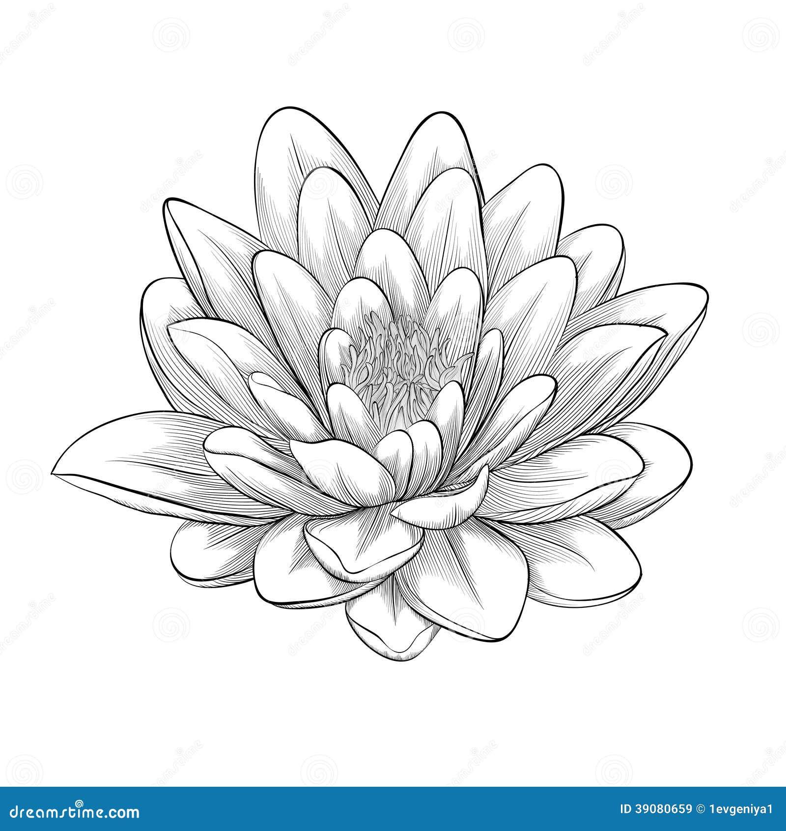 Black And White Lotus Flower Isolated Illustration 39080659 Megapixl