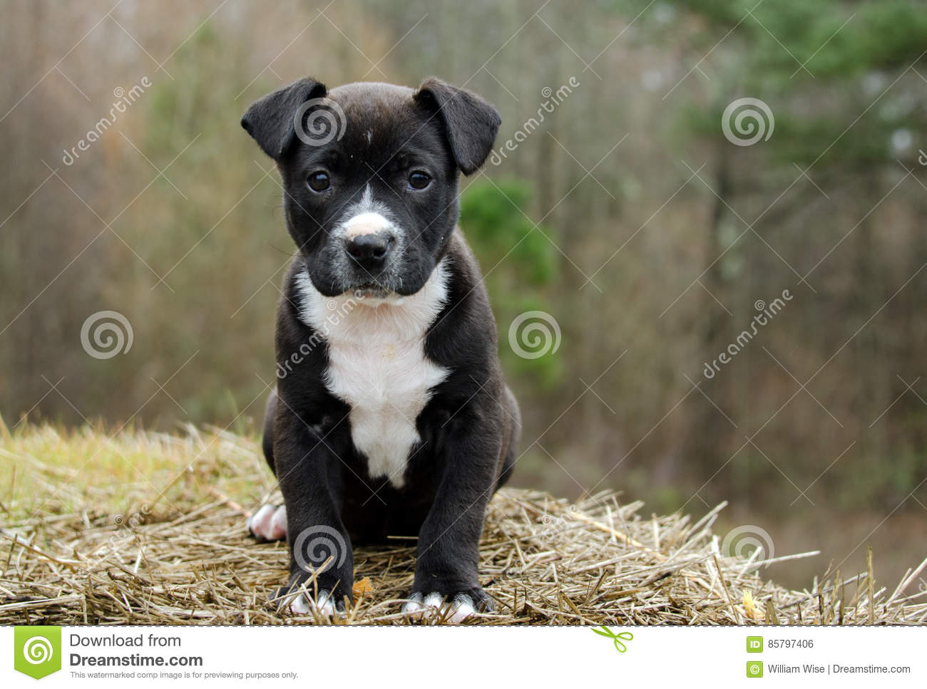 Black And White Mixed Breed Puppy Dog Stock Photo Image Of Puppies