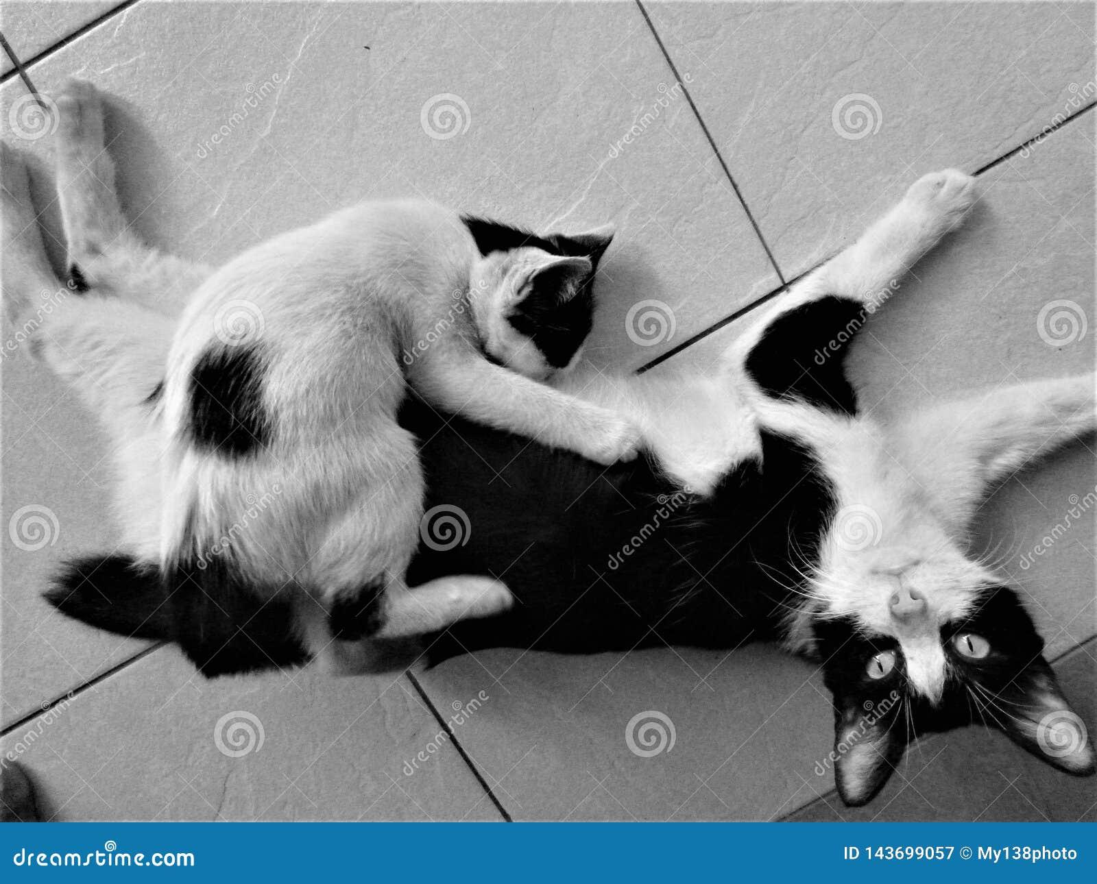 Black and white Mother feeding big kitten on the floor