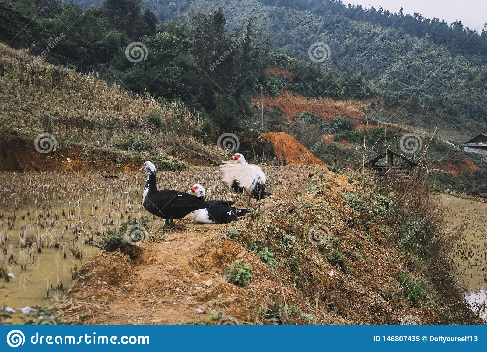 black and white Muskovy ducks standing in water on terraced rice fields in Northern Vietnam during a grey misty day