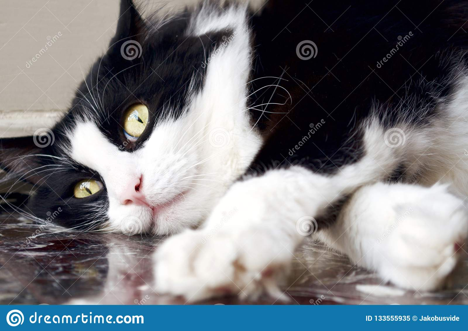 Black and white norwegian forest cat lying down on the floor
