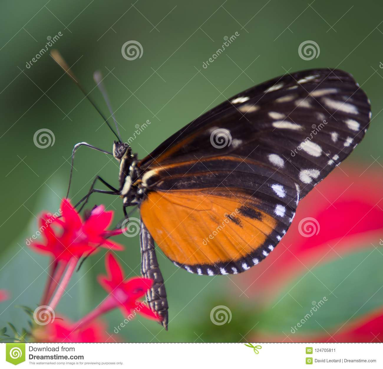 Black And White Orange Butterfly Resting On A Pink Flower On Green And Red Backgrounds Stock Image Image Of Black Posed 124705811