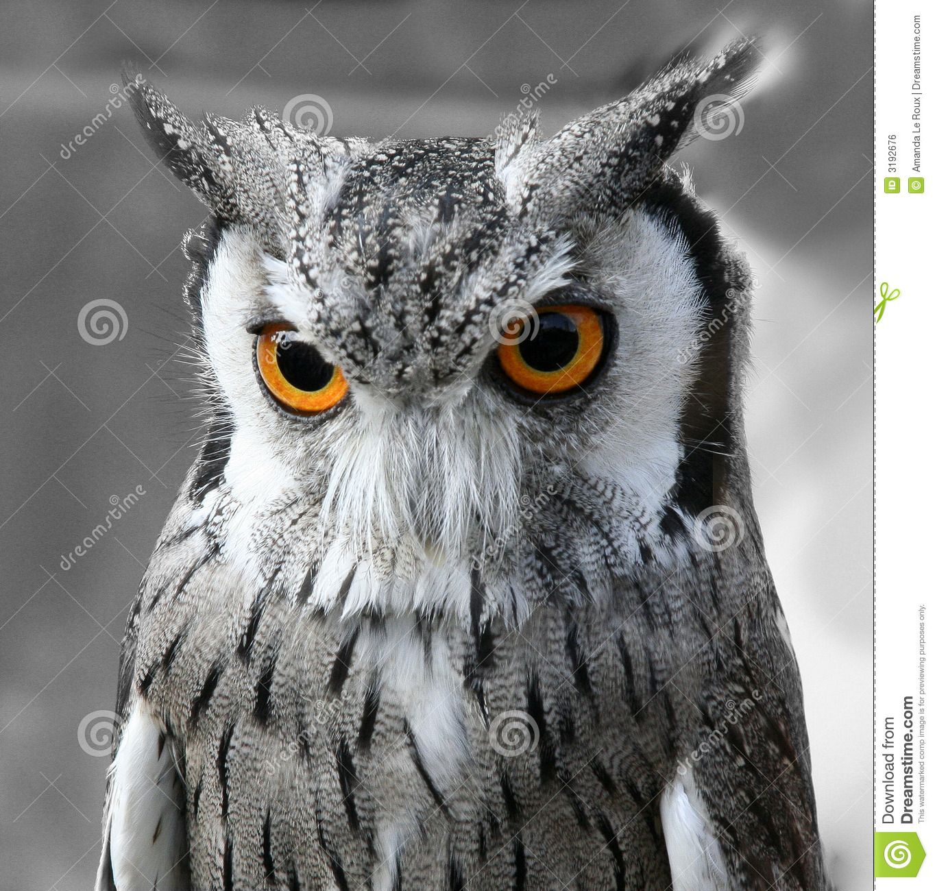 owl eyes head portrait yellow staring preview dreamstime