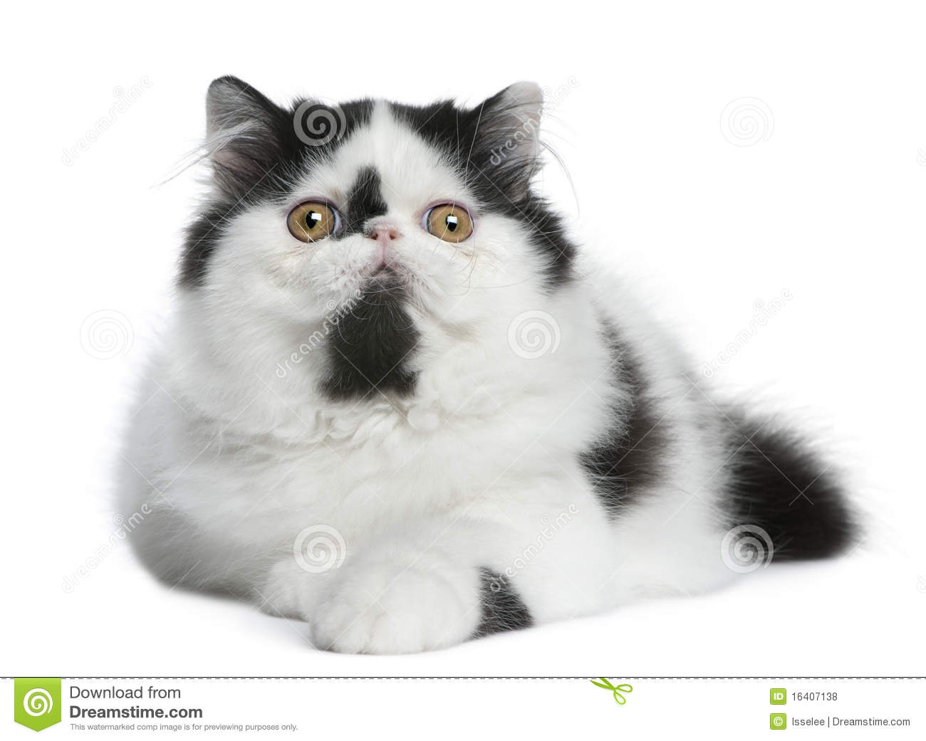 Black And White Persian Cat Lying Stock Image
