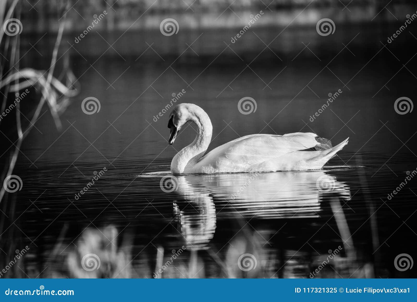 Swollen-headed swan