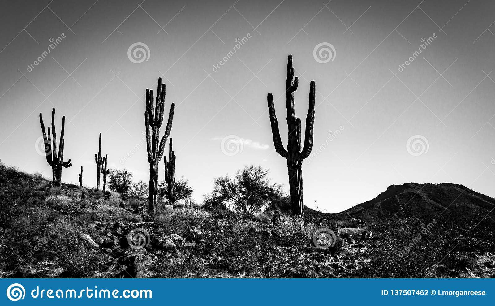 A black and white photo of saguaro cacti on the side of a hill in the Sonoran Desert.