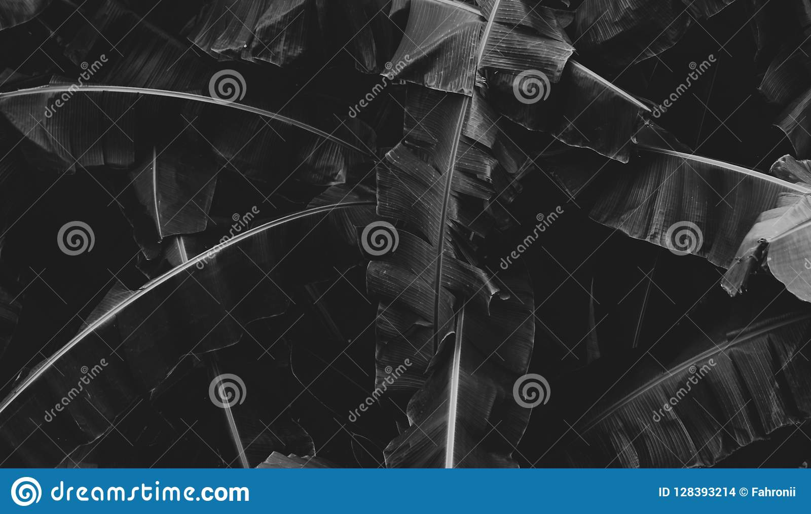Black and white picture of banana leaves abstract background. Dark tone of leaves in tropical jungle. Foliage nature background