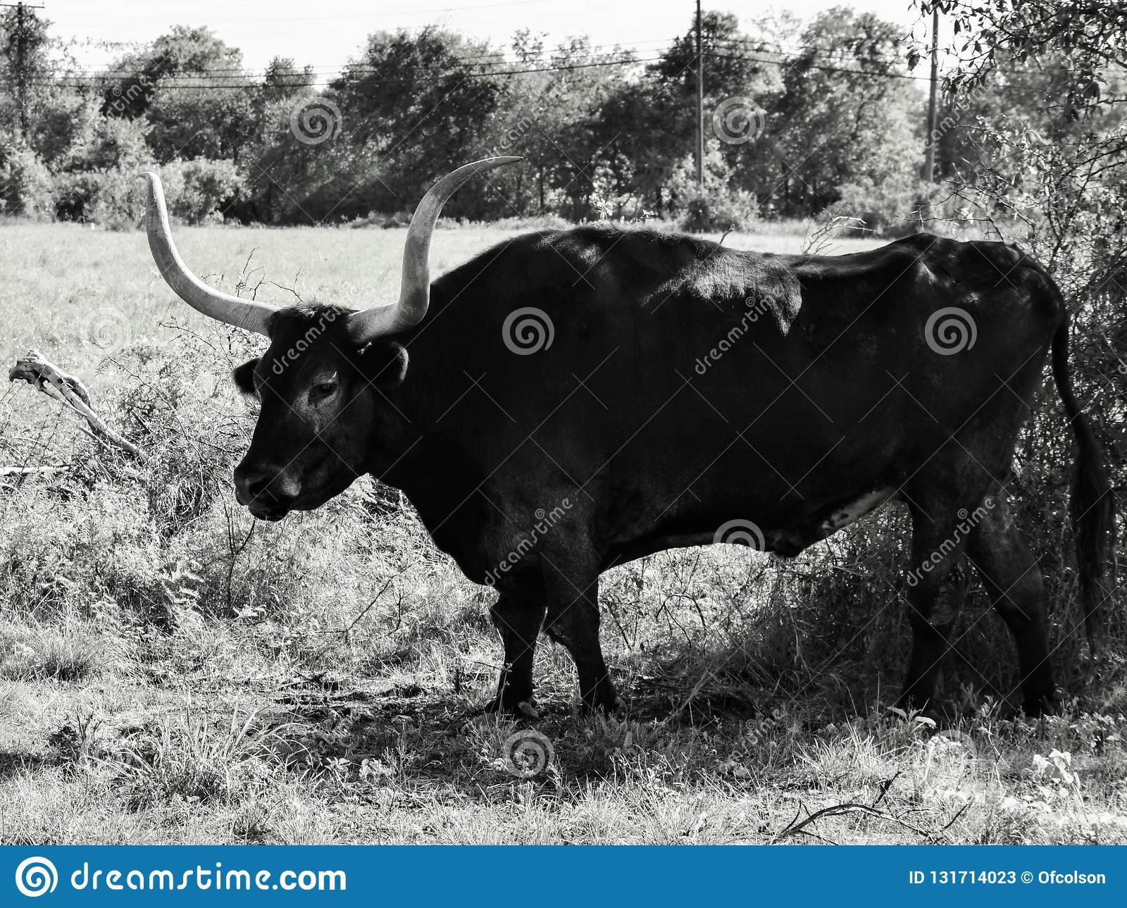 Longhorn in the shade black and white stock image image of bush